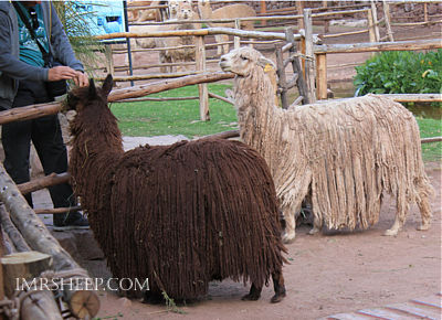 PERUVIAN LLAMAS, IRENE & MR. SHEEP Co.