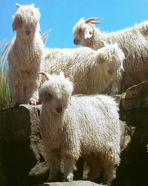 Angora Goats in Camdeboo, South Africa